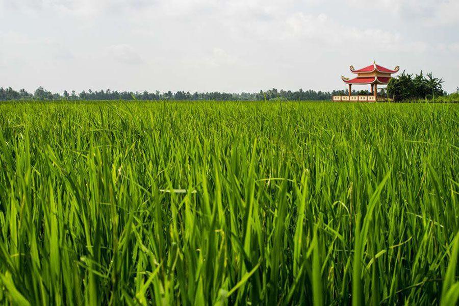 Rice paddy field in mekong delta