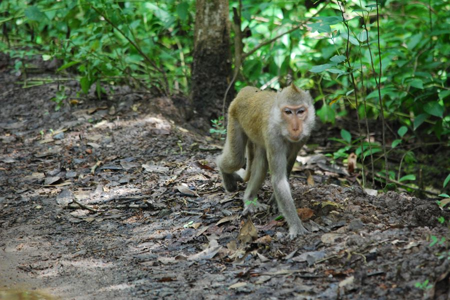 Monkey in can gio forest tour