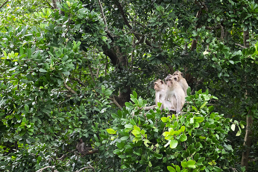 Monkeys in Can Gio Mangrove Forest